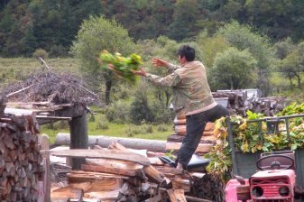 A hired worker tosses turnips onto a drying rack. In the winter, it will be fodder for yaks.
