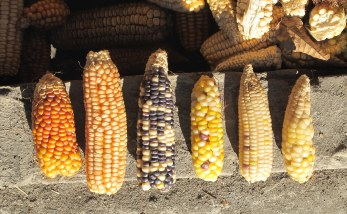 Although hybrid maize has taken over most fields, residents still grow local landraces in small patches. Each one has a flavor and consistency suited for particular dishes.