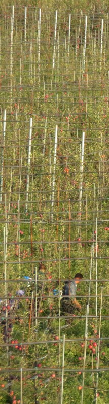 055 Apple Cages Narrow