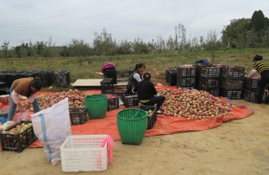 In other places, neighboring households work together to harvest their own apple orchards.